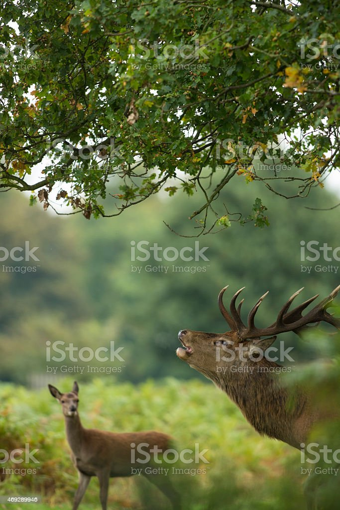 ed deer - Cervus elaphus stock photo