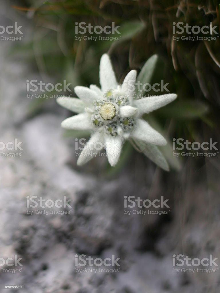 edelweiss alpine flower royalty-free stock photo