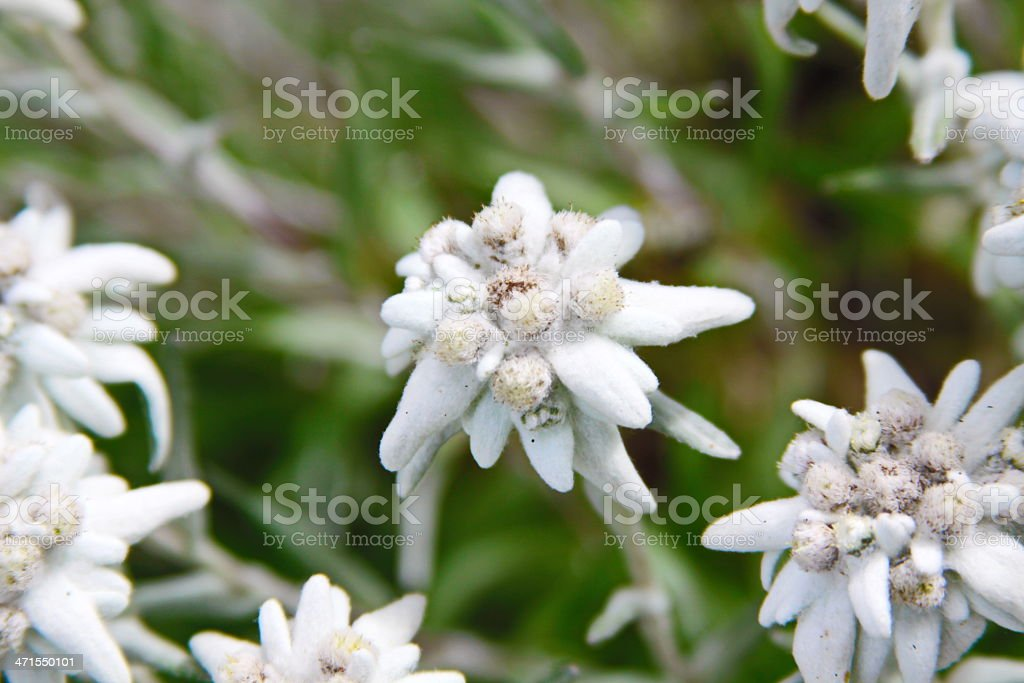 edelweiss alpine flower royalty-free stock photo