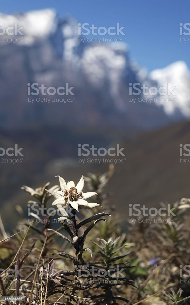 Edelweiss and mountain background stock photo