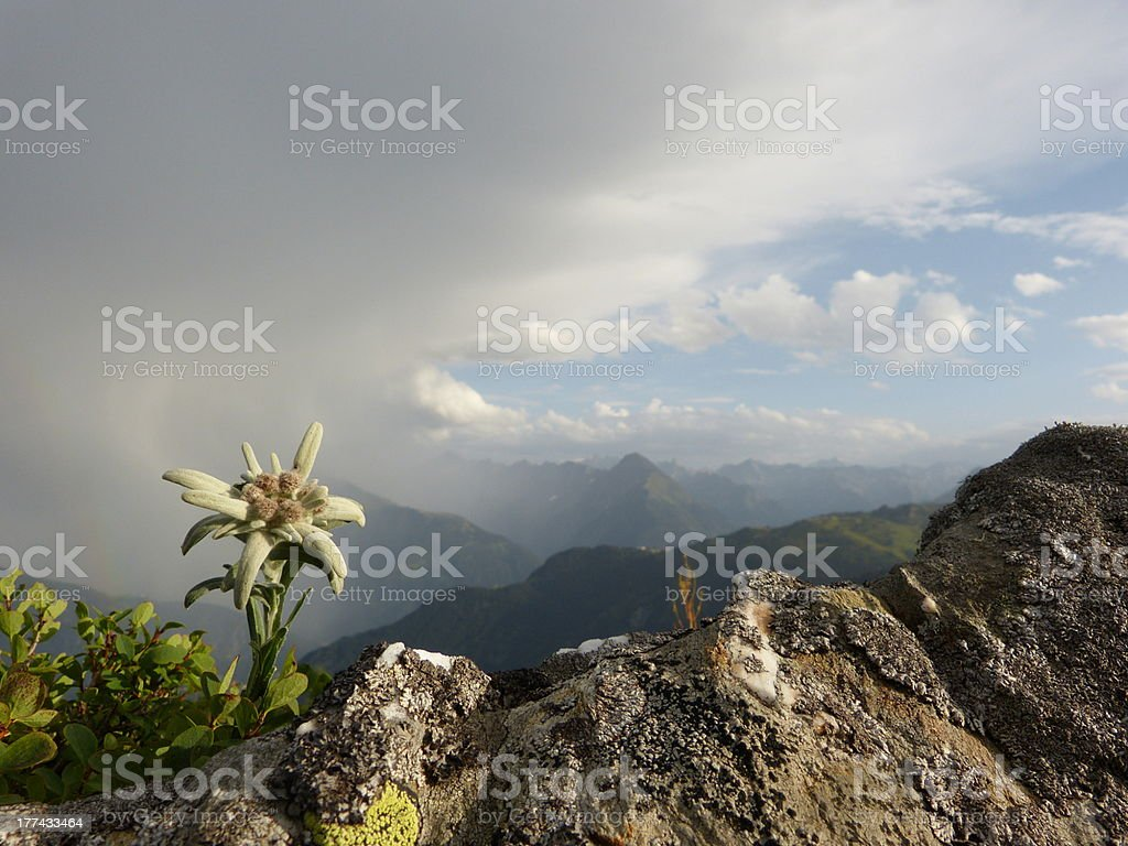 Edelweiss and thunderstorms in the Alps stock photo
