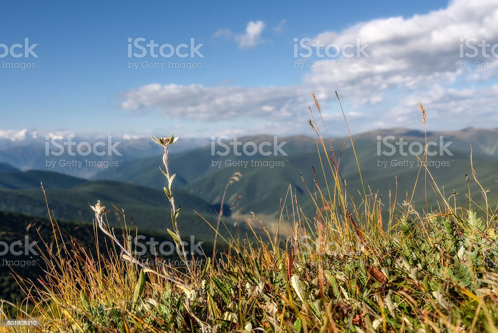 edelweiss flower mountain background stock photo
