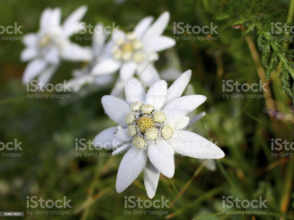 Edelweiss flowers close-up stock photo