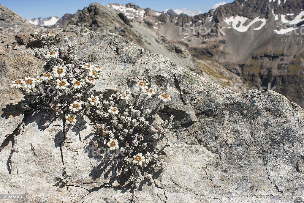 edelweiss growing on rock stock photo
