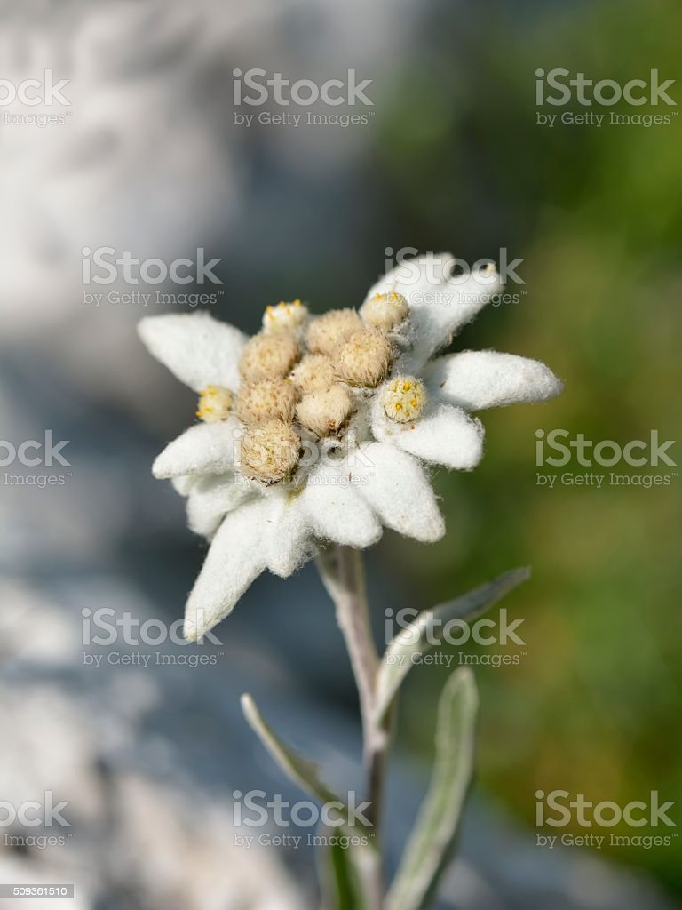edelweiss in nature stock photo