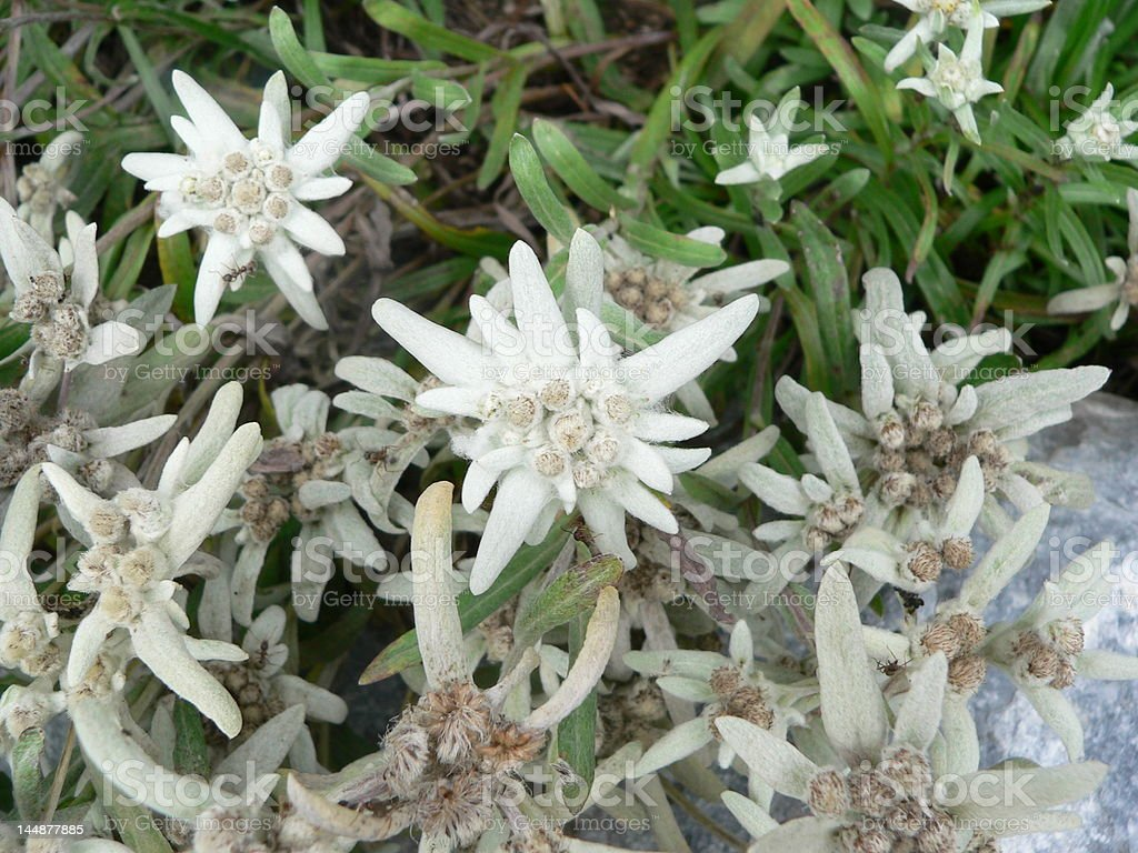 Edelweiss in Switzerland royalty-free stock photo
