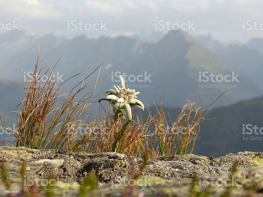 Edelweiss in the high mountains stock photo