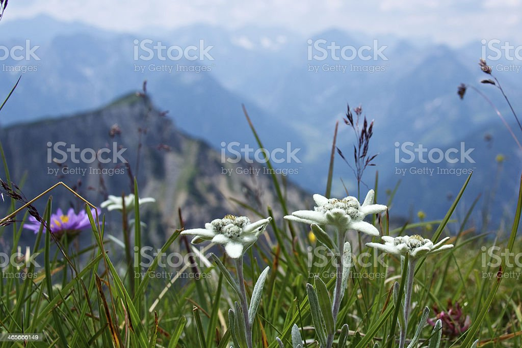 Edelweiss in the mountains stock photo