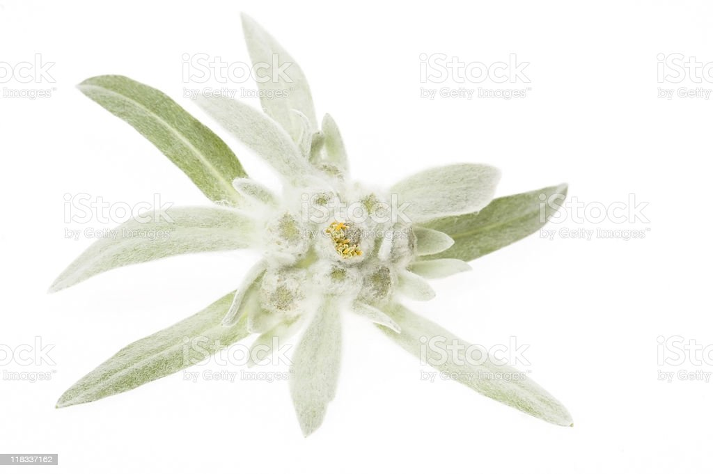 edelweiss isolated on the white background stock photo