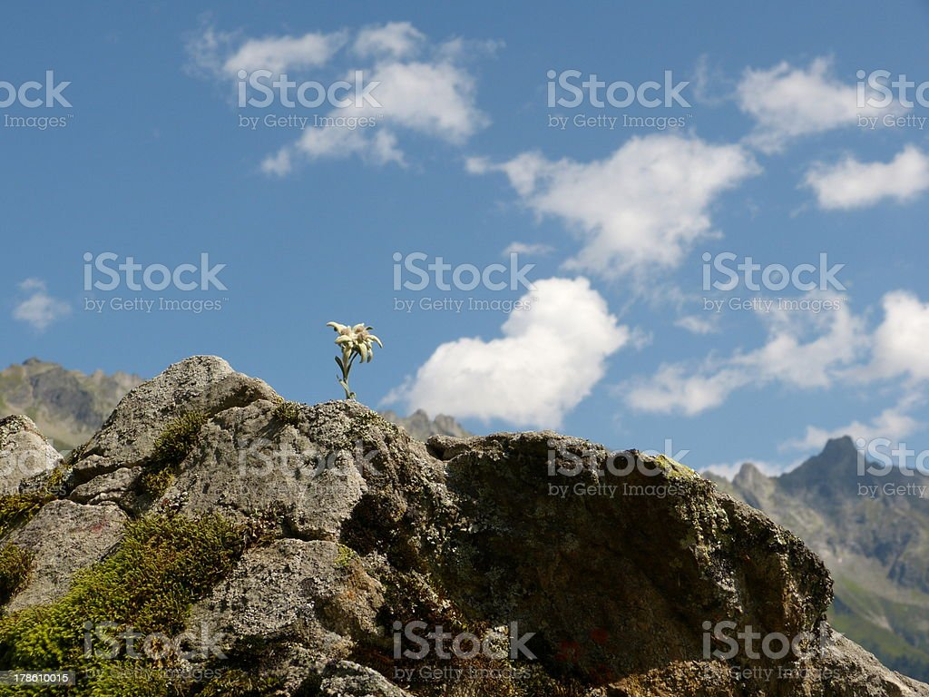 Edelweiss on the rocks stock photo