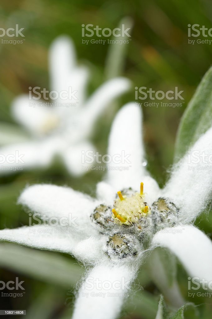 Edelweiss royalty-free stock photo