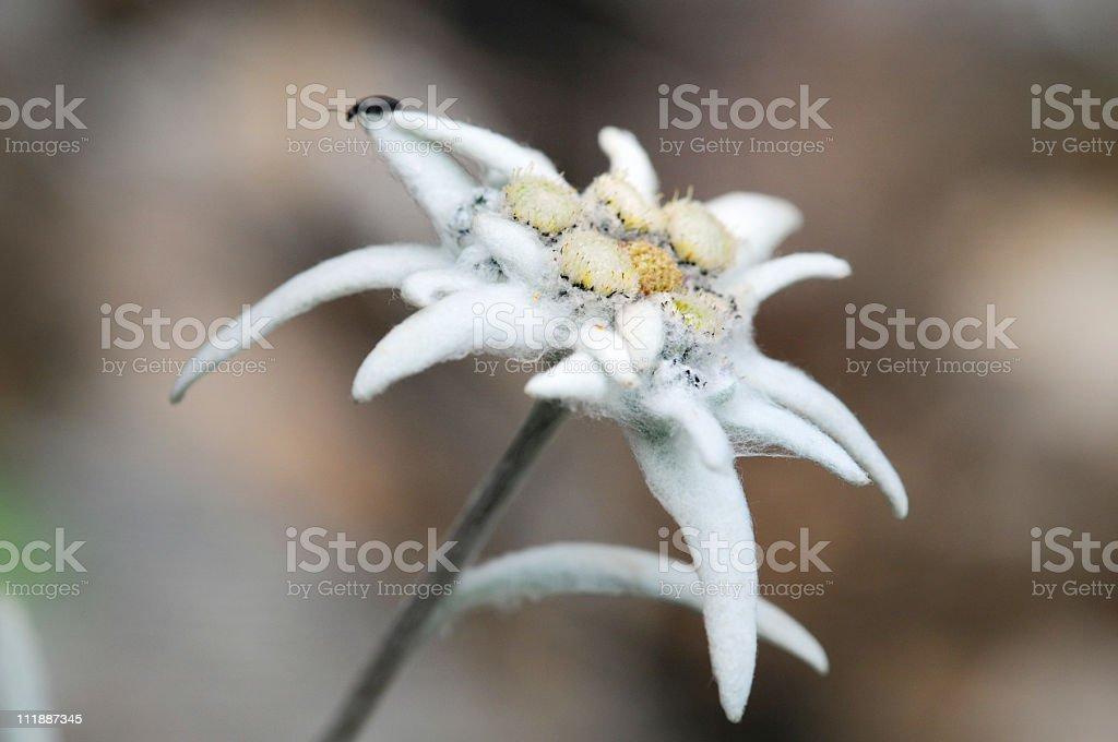 Edelweiss (Daisy Family) stock photo