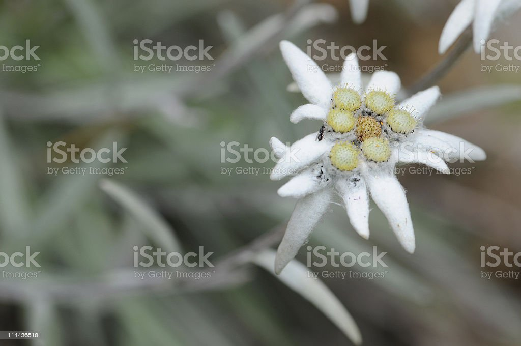 Edelweiss (Daisy Family) royalty-free stock photo