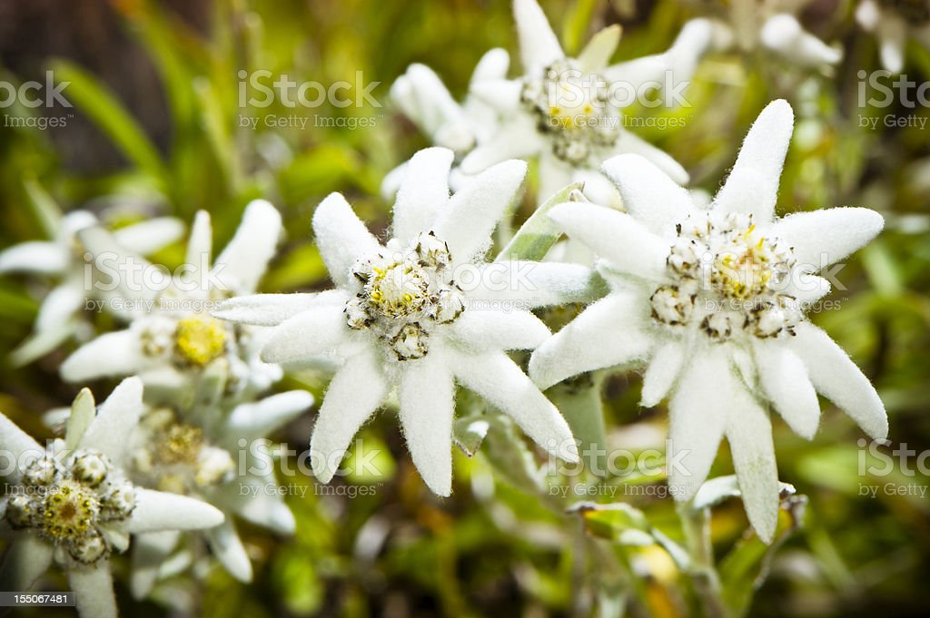 Edelweiss stock photo