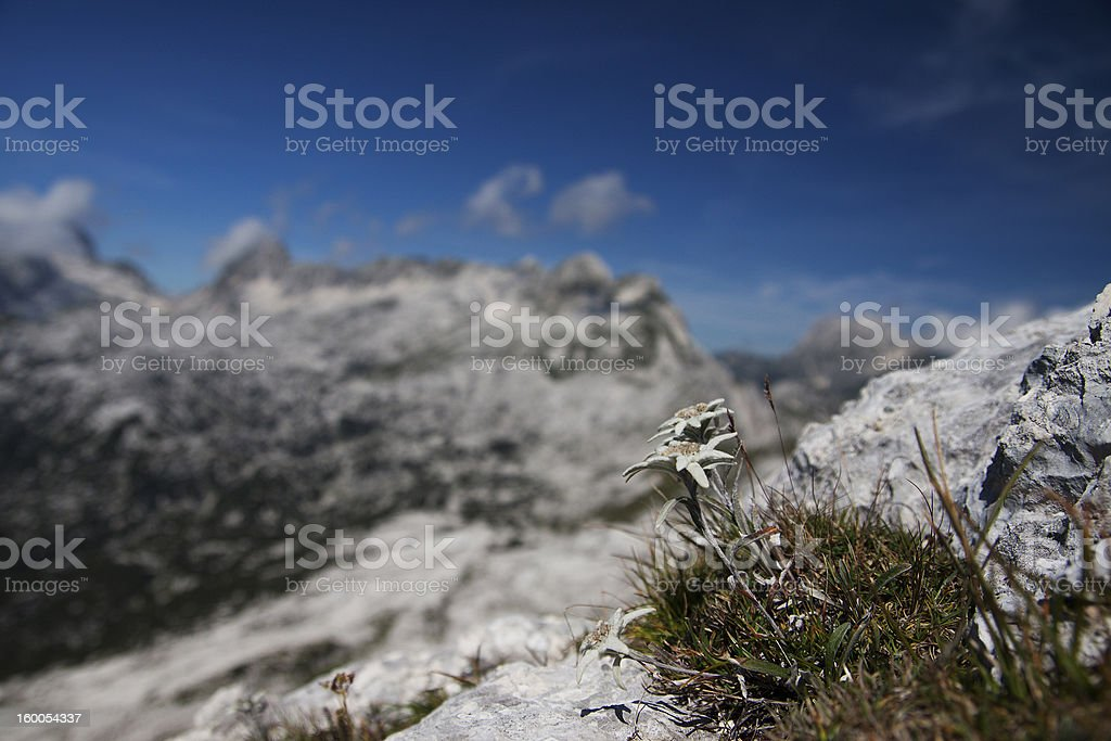 Edelweiss proudly overlooking the Alps stock photo