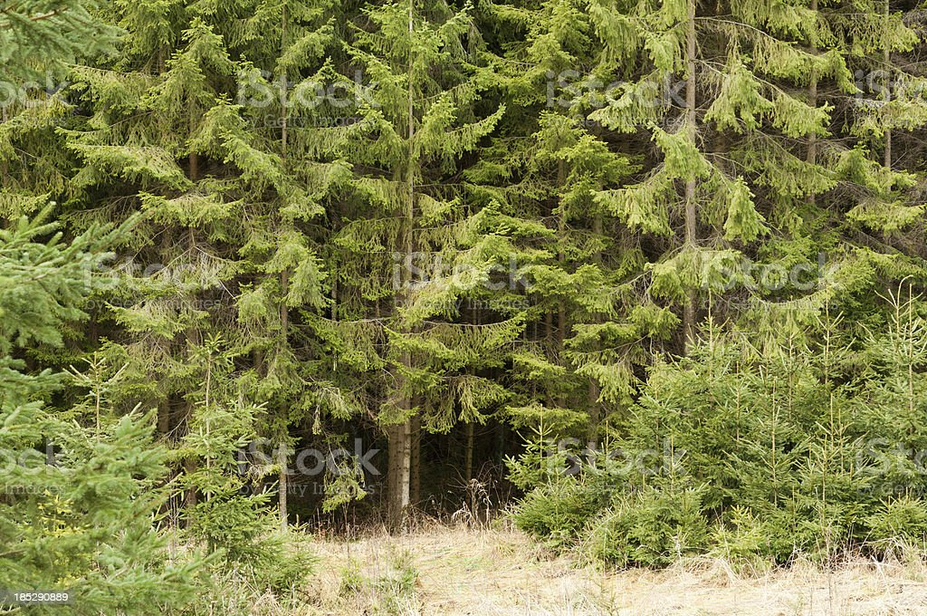 edge of a forest with large and small spruce stock photo