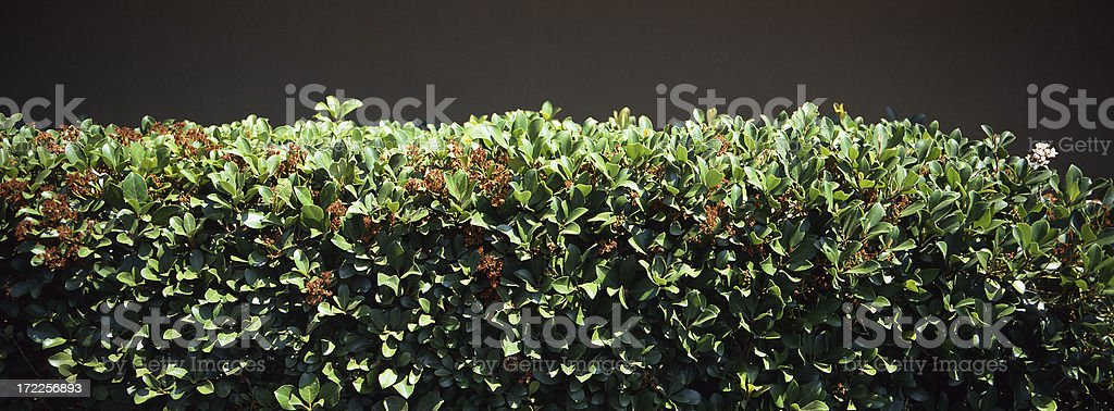 Edge of a Hedge royalty-free stock photo