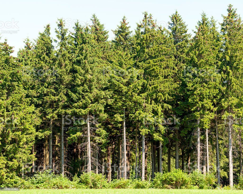 Edge of a spruce wood in summer. stock photo