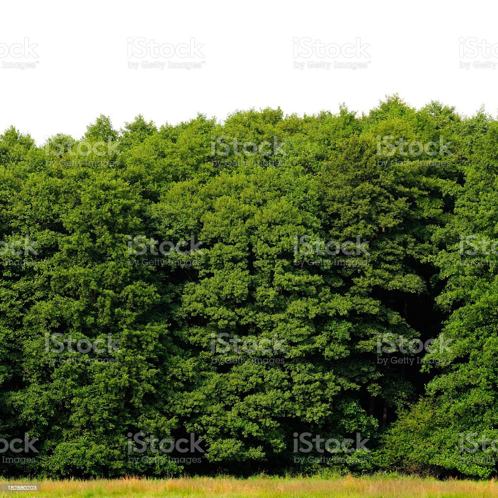 Edge of a wood isolated on white (Alder, Alnus glutinosa). stock photo