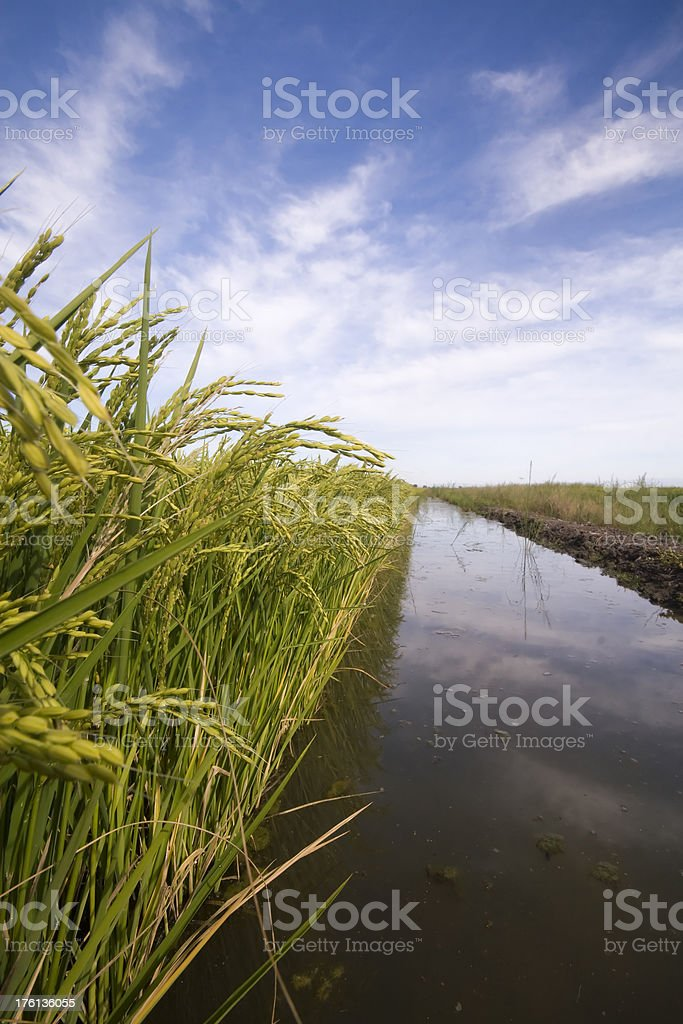 Edge of Rice Paddy Showing Irrigation Water stock photo