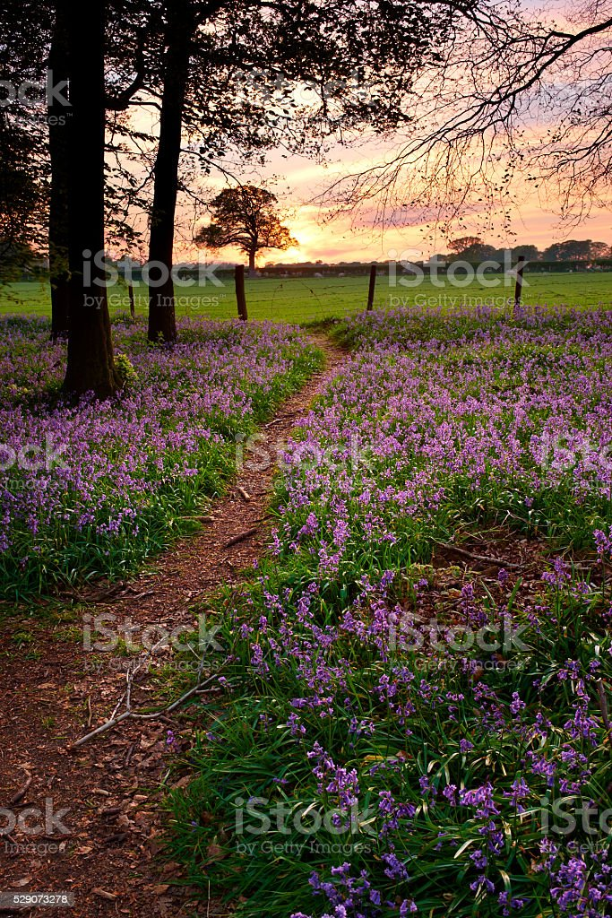 Edge Of The Bluebell Wood stock photo