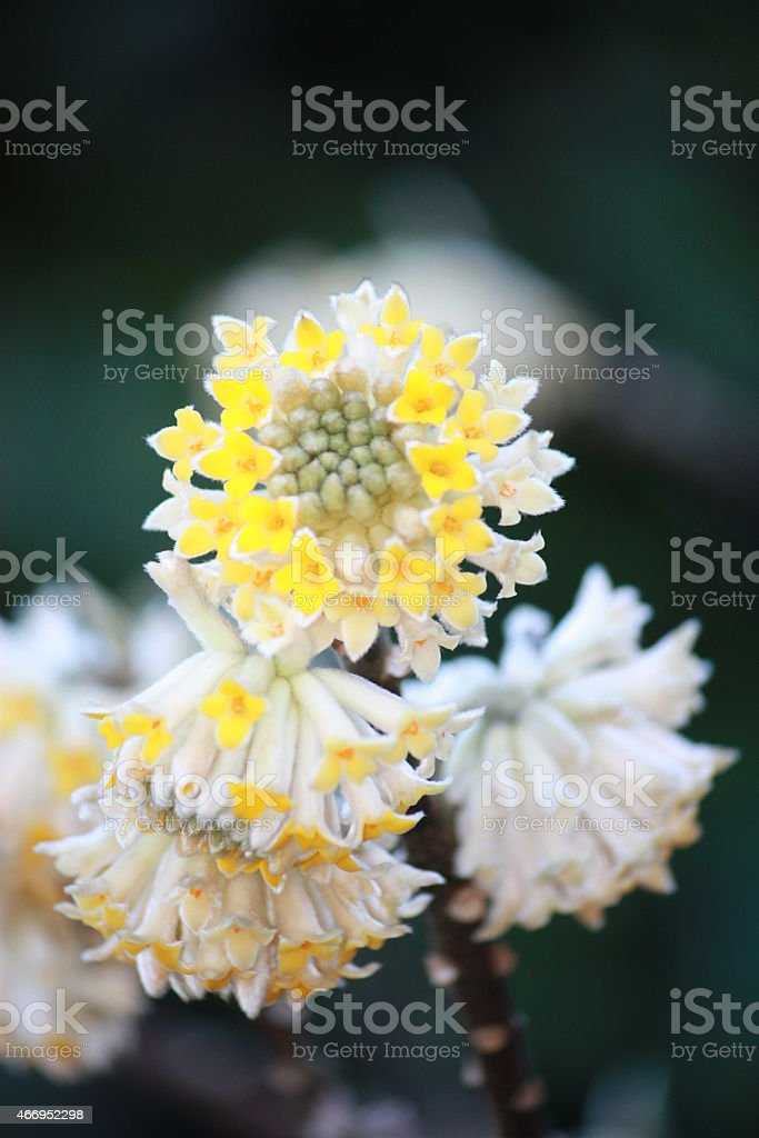 'Edgeworthia chrysantha', ' Japanese Paper Bush', production of Japanese paper stock photo