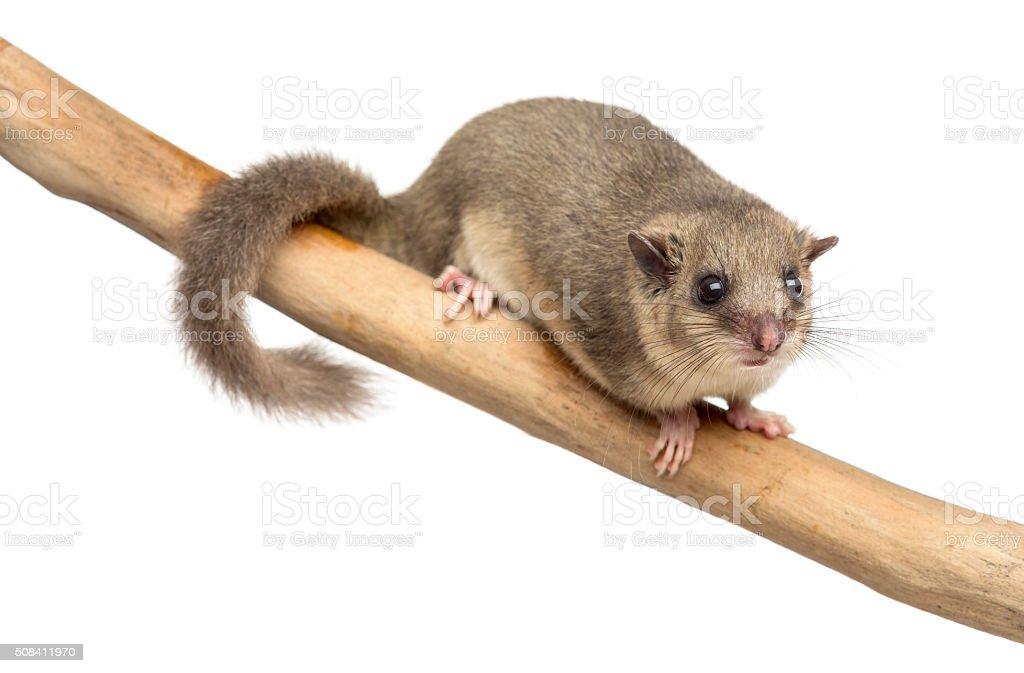 Edible dormouse on a branch stock photo