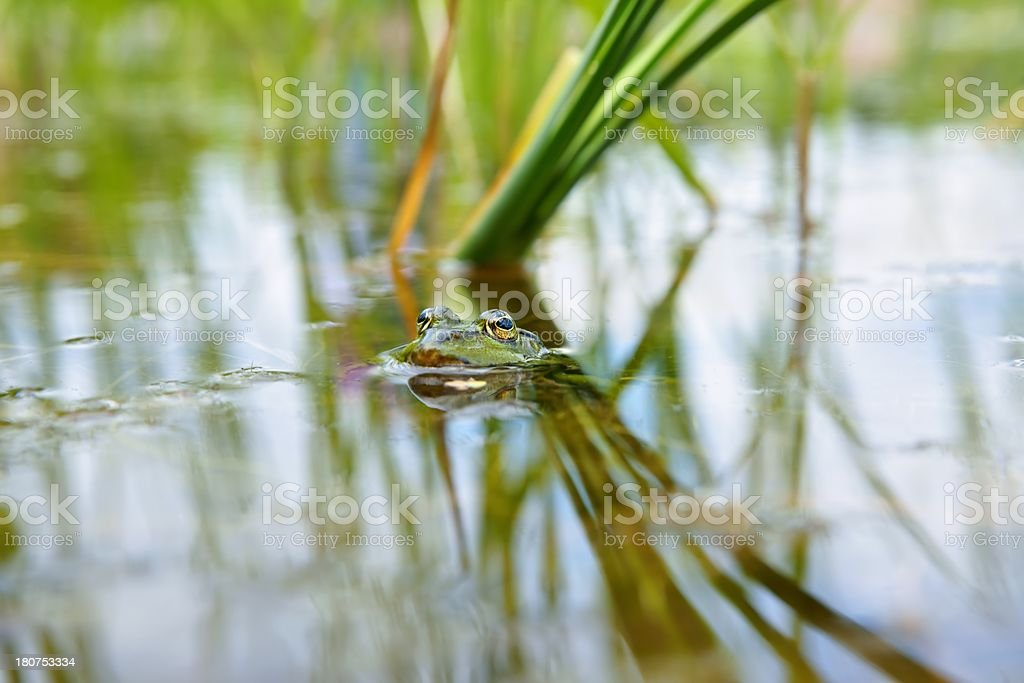 Edible Frog (Pelophylax kl. esculentus), as background stock photo