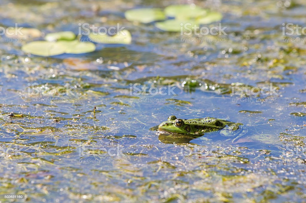 Edible frog, common water frog or green frog - Pelophylax esculentus stock photo
