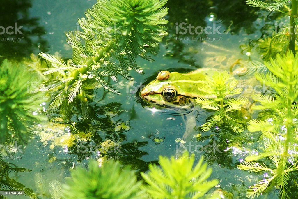 edible frog (Rana esculenta) floating in a pond in Italy stock photo