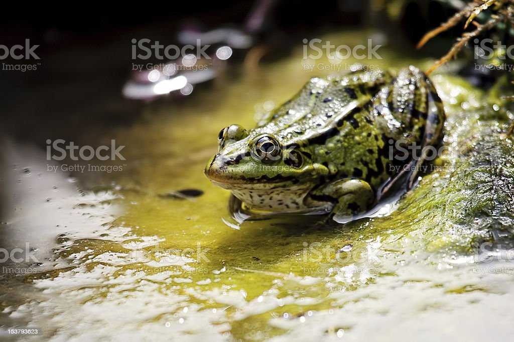 Edible Frog royalty-free stock photo