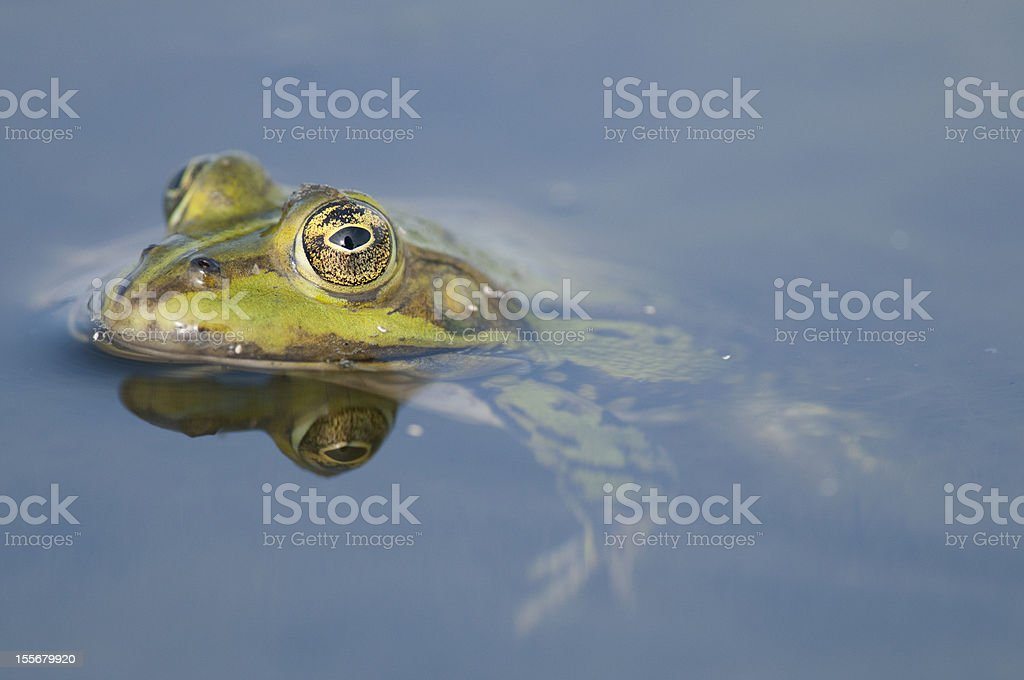Edible frog royalty-free stock photo