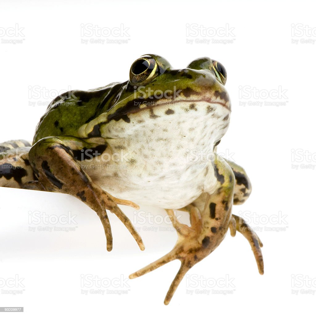 Edible Frog - Rana esculenta royalty-free stock photo