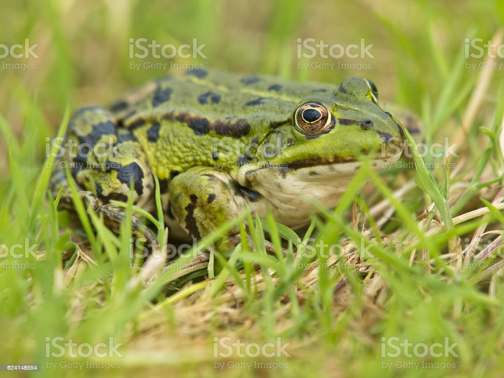 Edible Frog (Pelophylax kl. esculentus) resting in grass stock photo