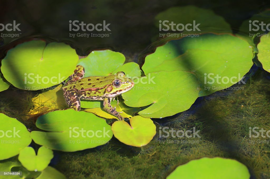 Edible frog (Pelophylax esculentus) sitting on water lily stock photo