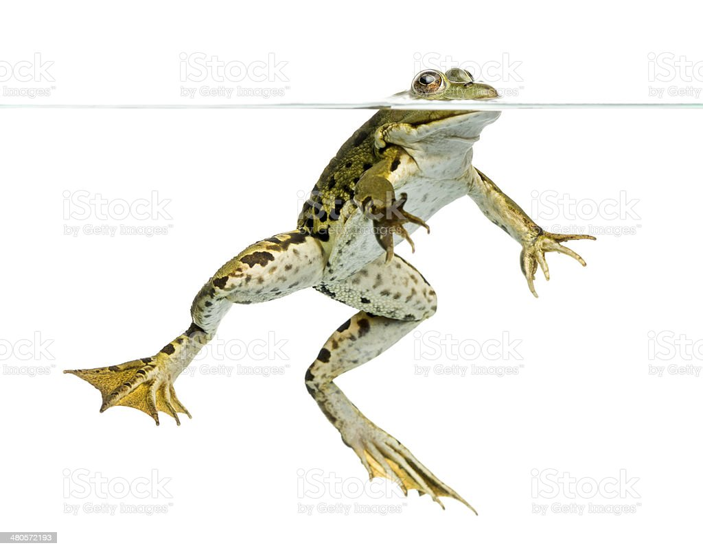 Edible Frog viewed from below, swimming at the surface stock photo