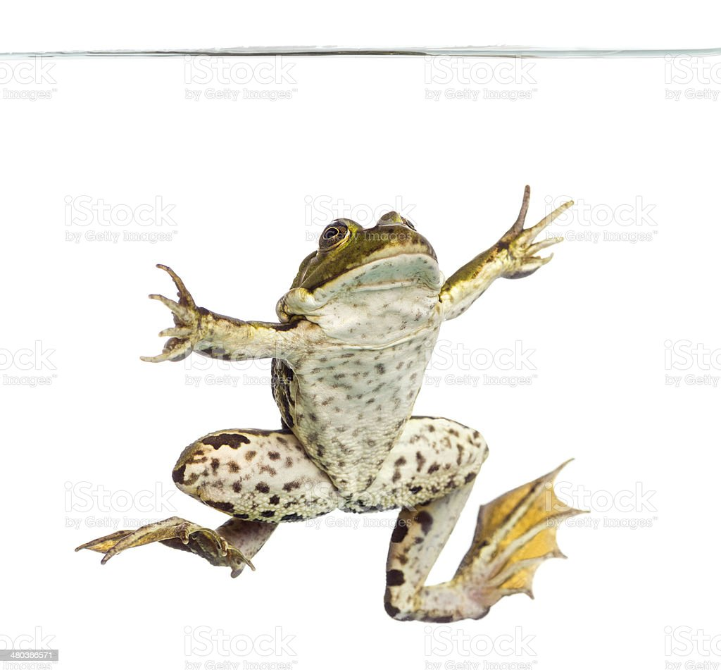 Edible Frog viewed from below swimming up, under water line royalty-free stock photo