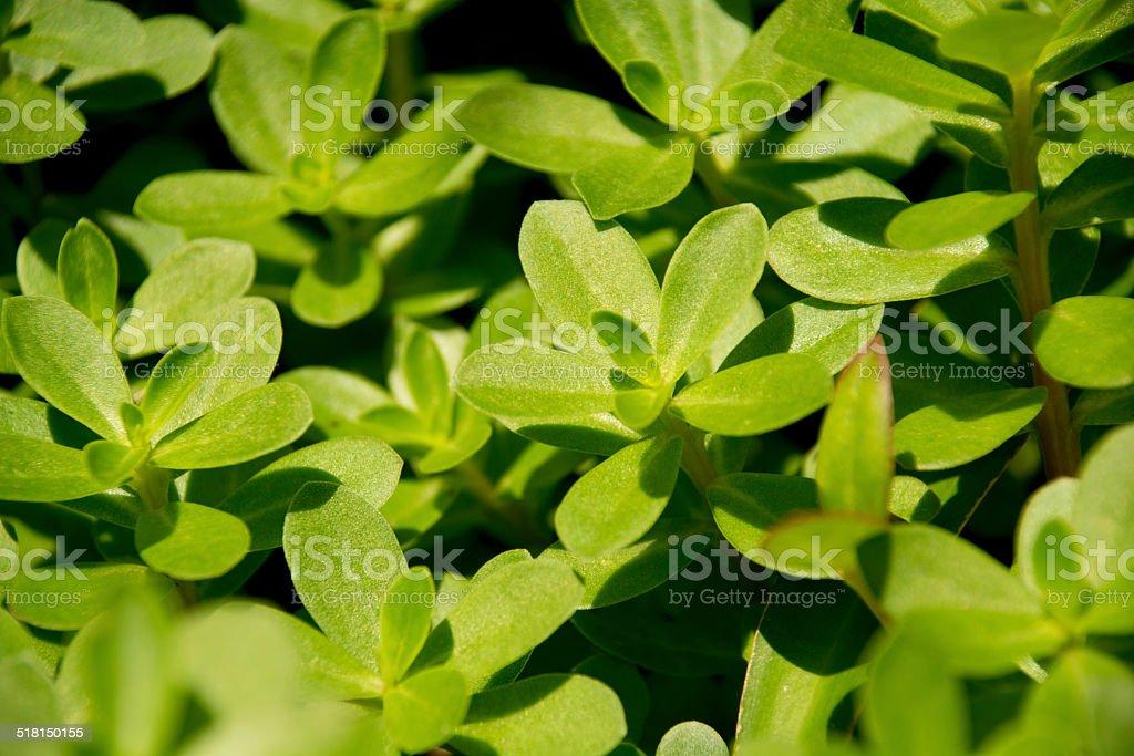 Edible leaves of purslane-verdolaga stock photo
