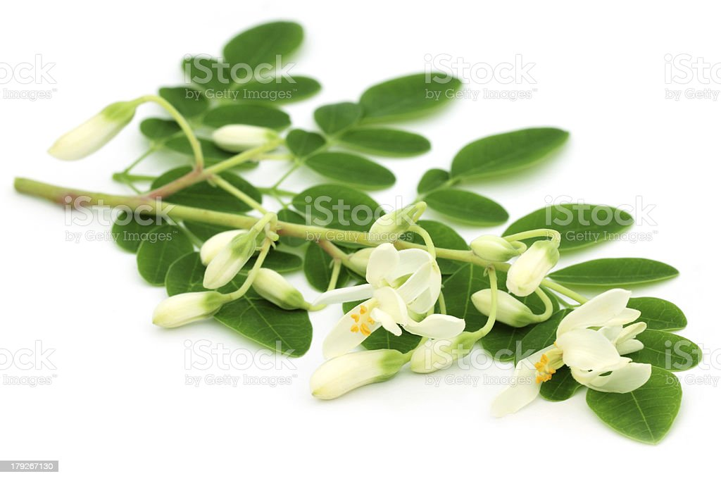 Edible moringa leaves with flowers stock photo