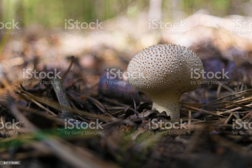 Edible mushroom gray Puff-Ball growing in the forest among needles. Close up. Blurry background stock photo