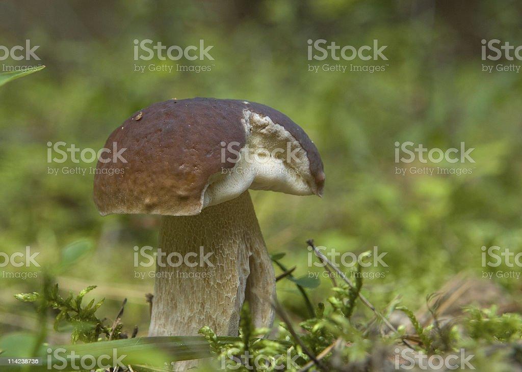 Edible mushroom King Bolete stock photo