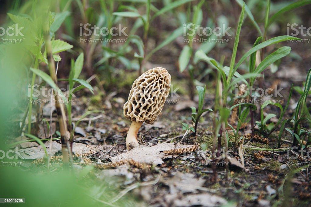Edible mushroom morel in nature stock photo