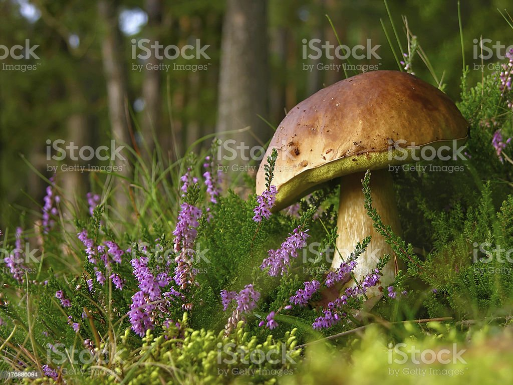 edible mushroom - porcini stock photo
