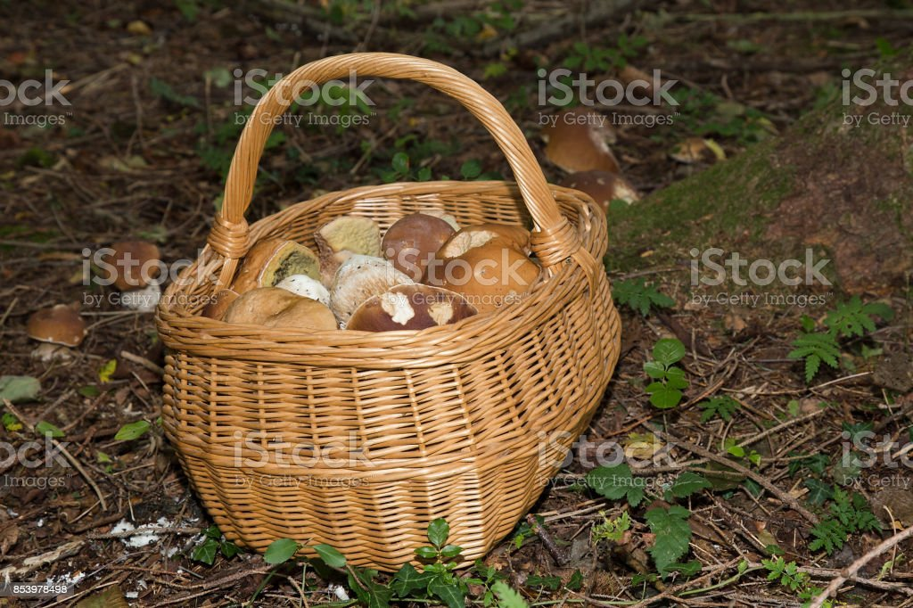 Edible mushrooms (boletus edulis) in Basket - Porcini Mushroom in forest stock photo