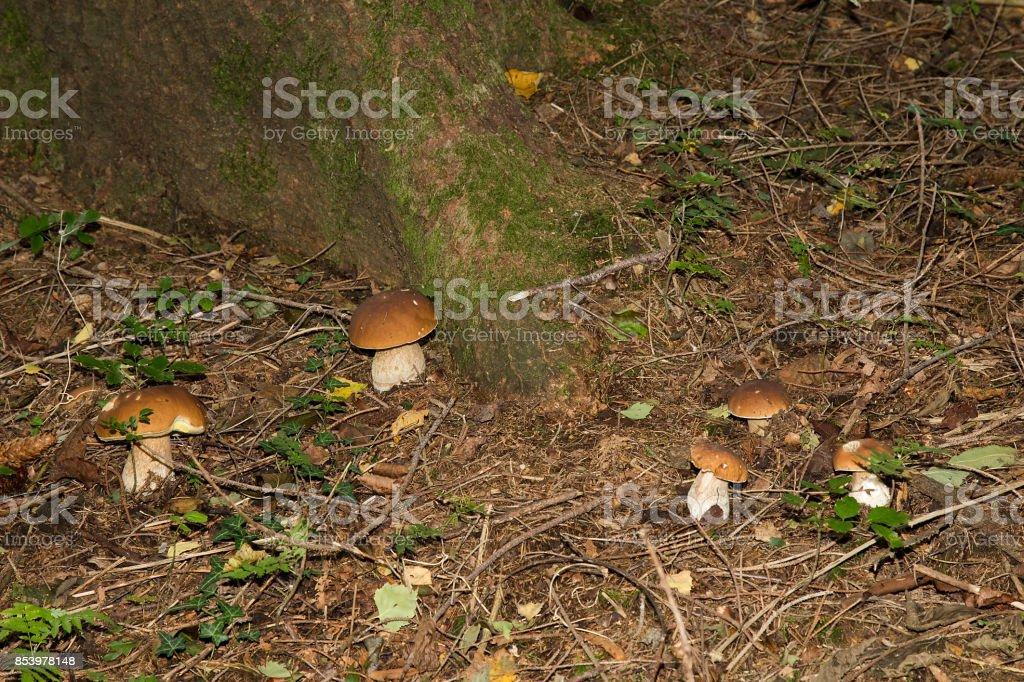 Edible mushrooms (boletus edulis) - Porcini Mushroom in forest stock photo