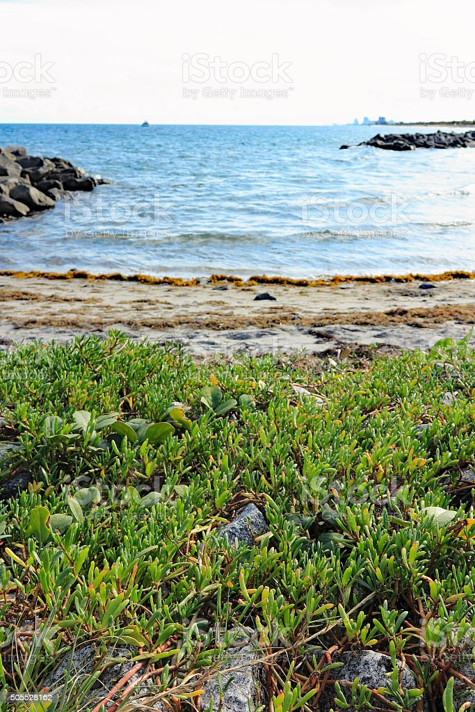 Edible Sea Purslane Growing Wild stock photo