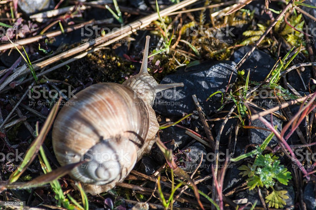 Edible snail also called Swabian Auster stock photo