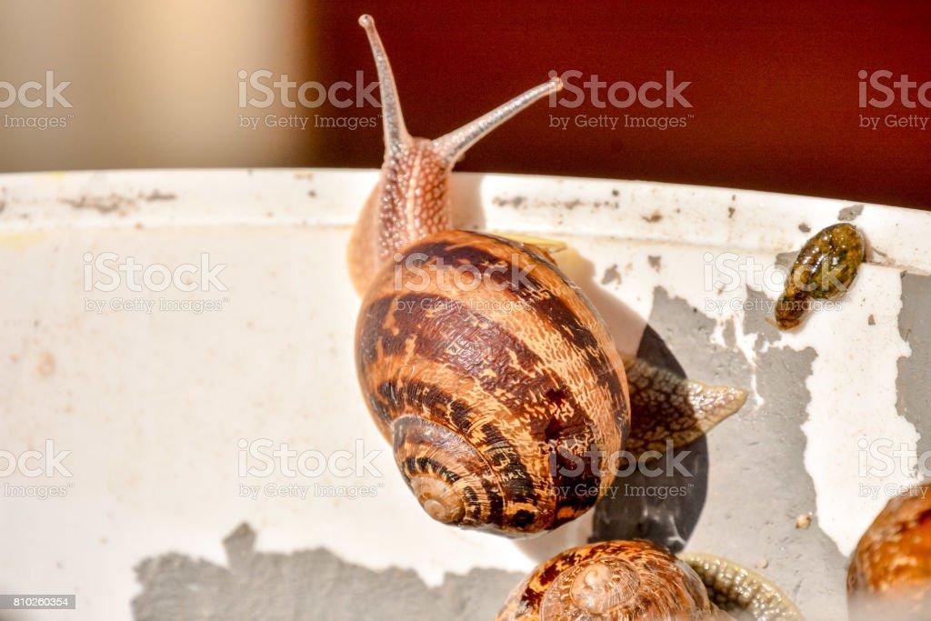 Edible snail escargot stock photo