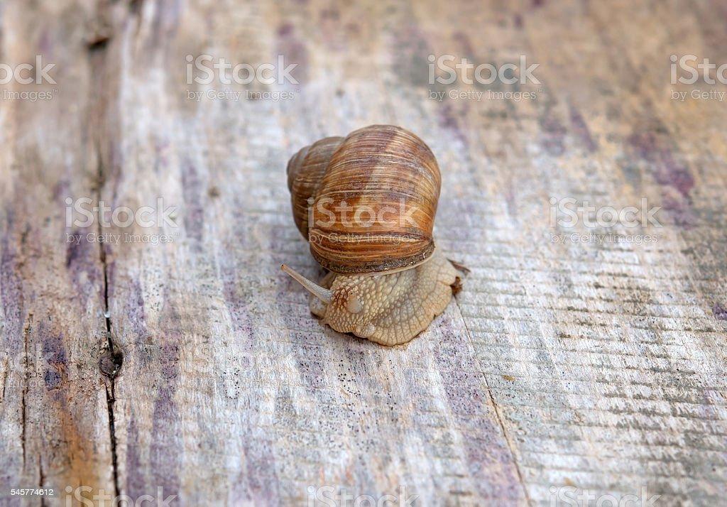 edible snail stock photo