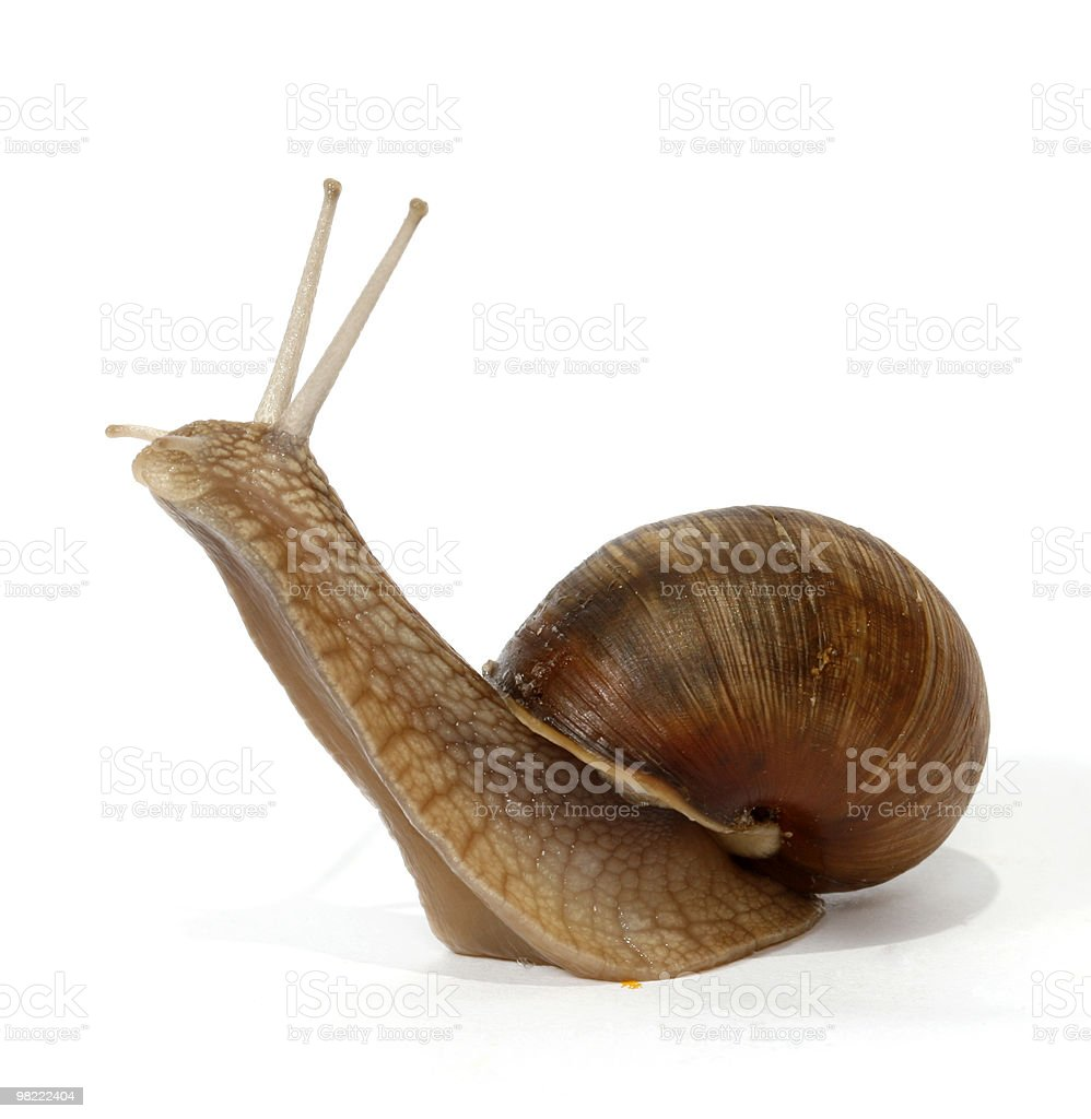 Edible snail royalty-free stock photo